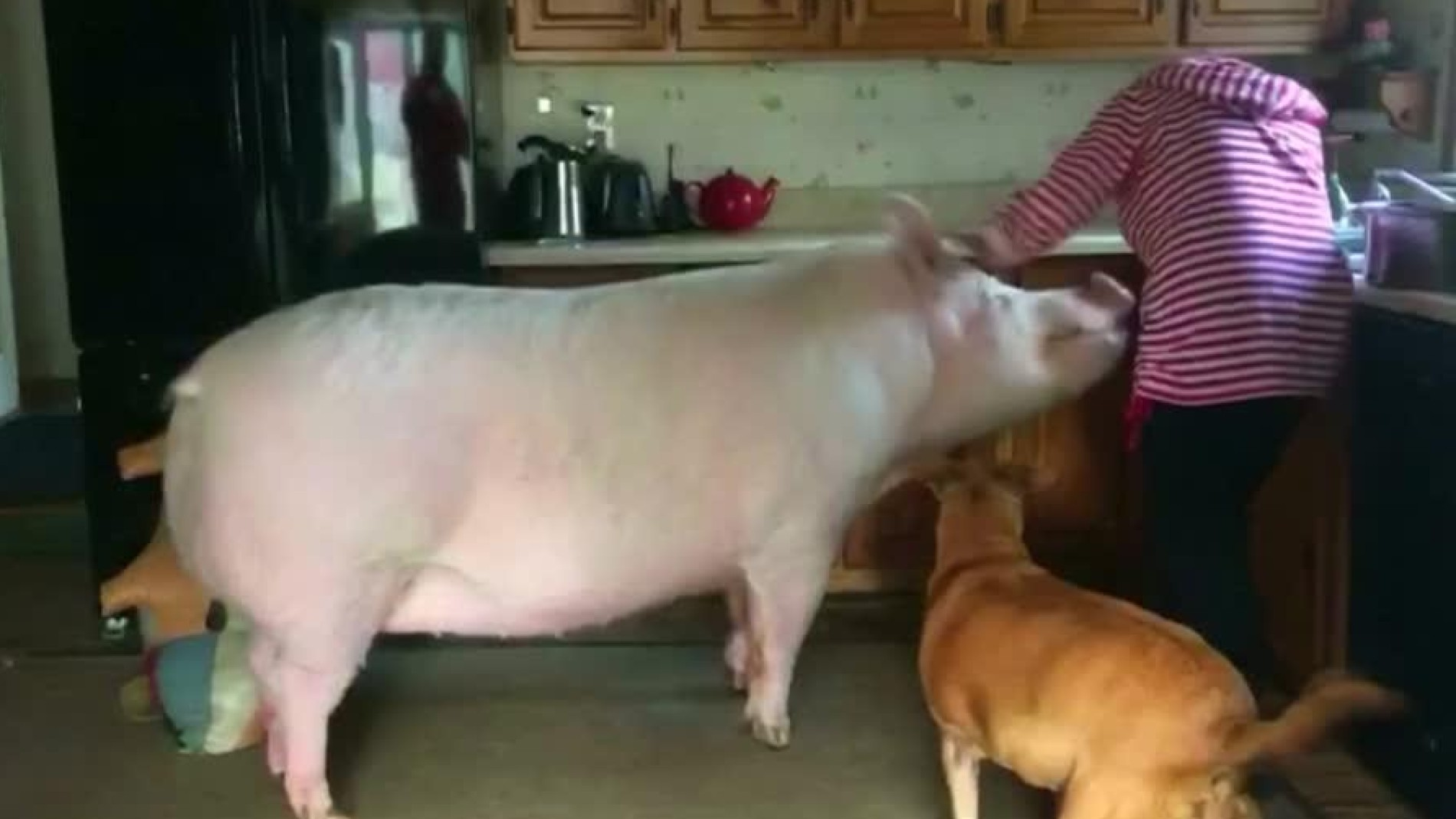 Kanada Riesenschwein Esther Wiegt Fast 300 Kilogramm