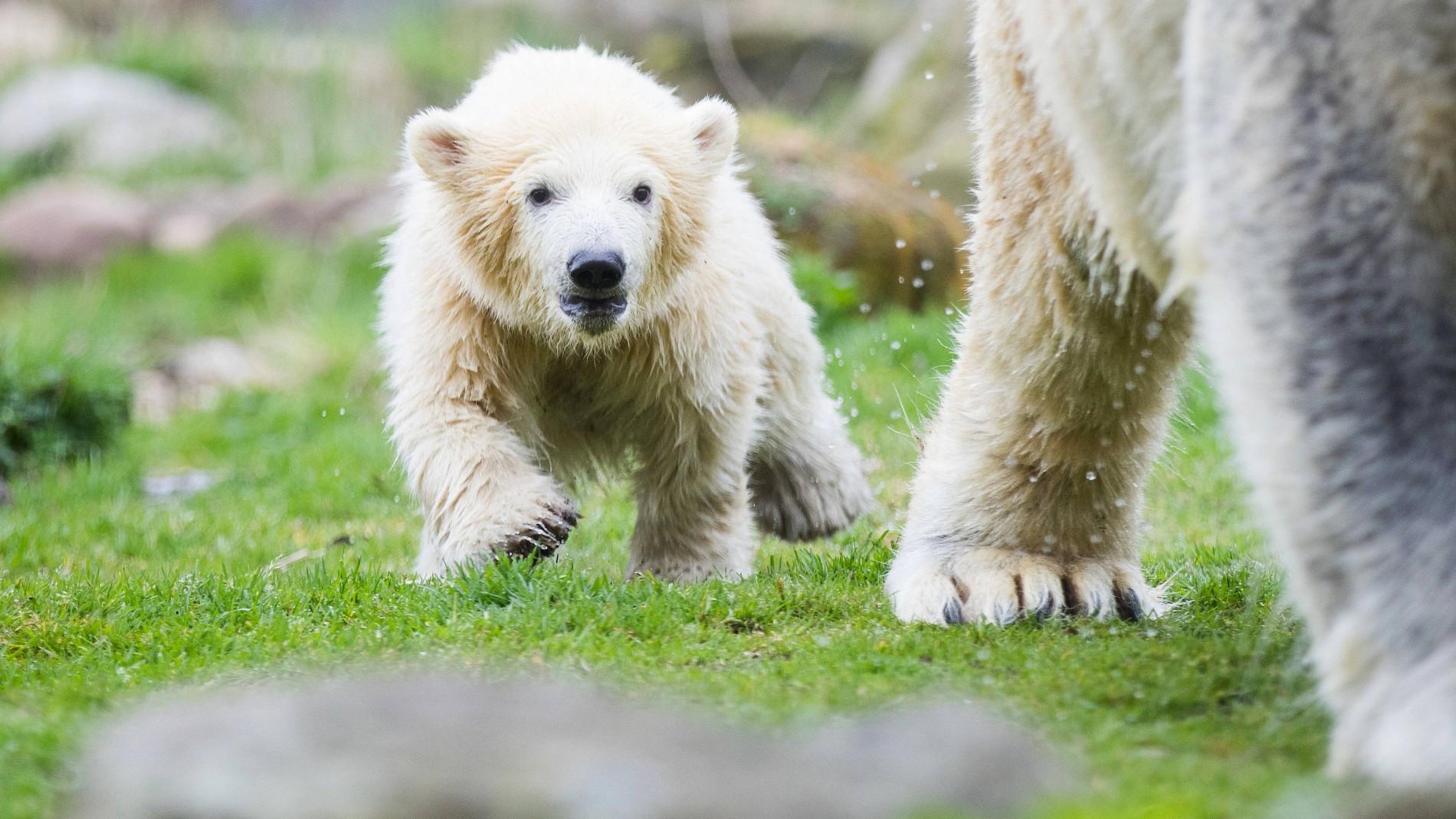 Eisbär Baby Nanook Erste Schritte Im Außengehege