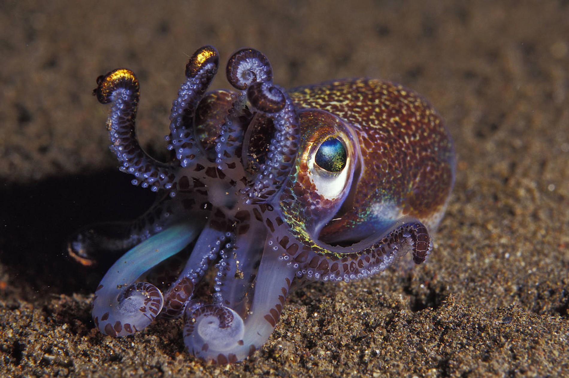 wie viele arme hat der oktopus